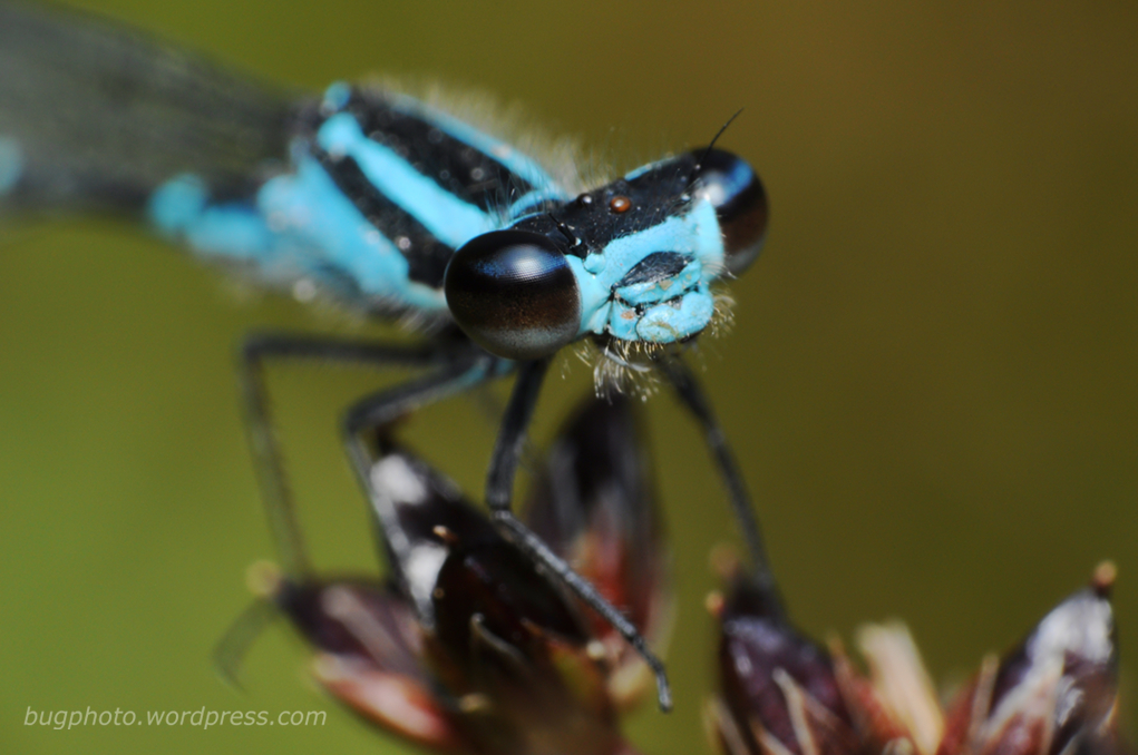 blue damselfly close up