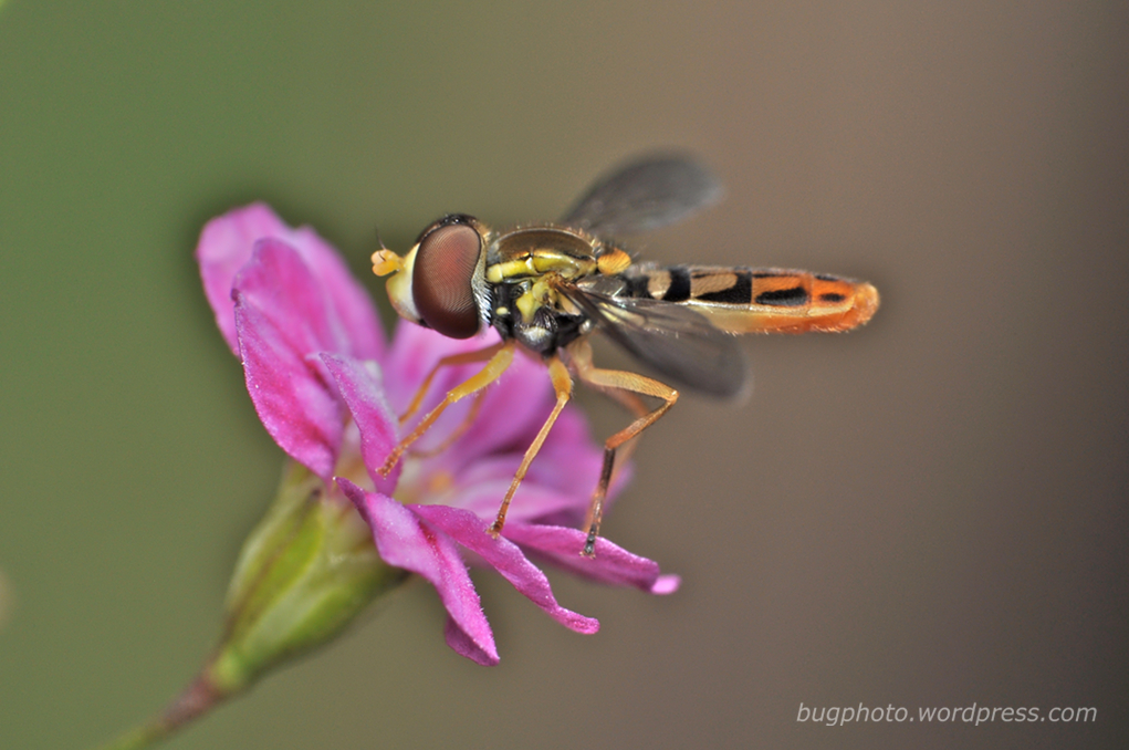 Hover fly on Pink Flower