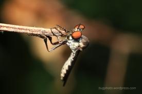 Holcocephala Robber Fly