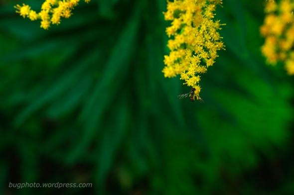 hover fly on goldenrod