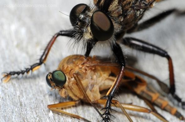 Robber fly preys on snipe fly
