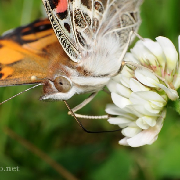 american painted lady butterfly feeding