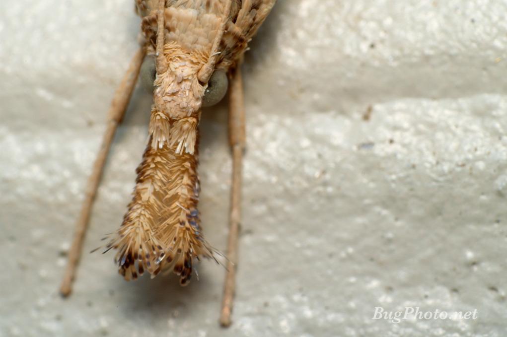 Snout Moth portrait