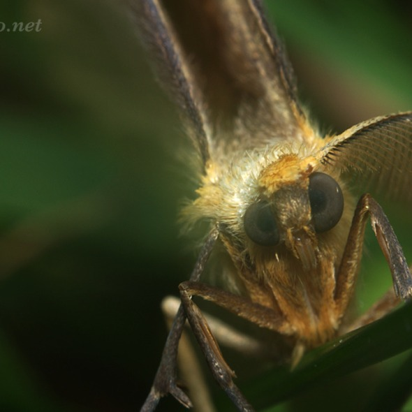 moth with mismatched eyes