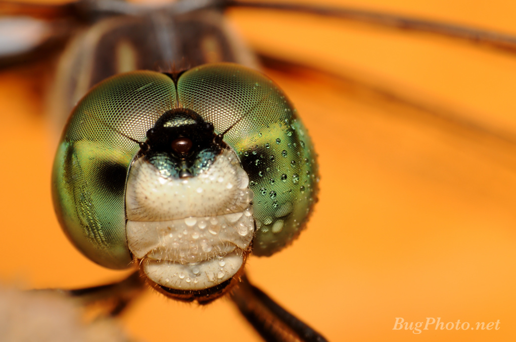 Blue Dasher Dragonfly with Dew Drops