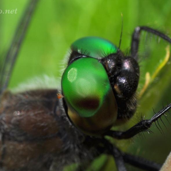 Emerald Dragonfly