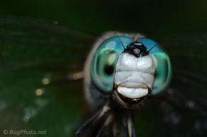 Blue Dasher Dragonfly Portrait