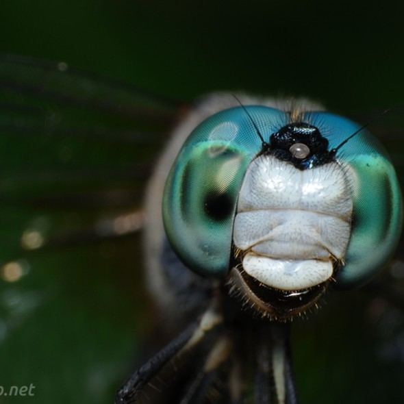 Blue Dasher Dragonfly Portrait