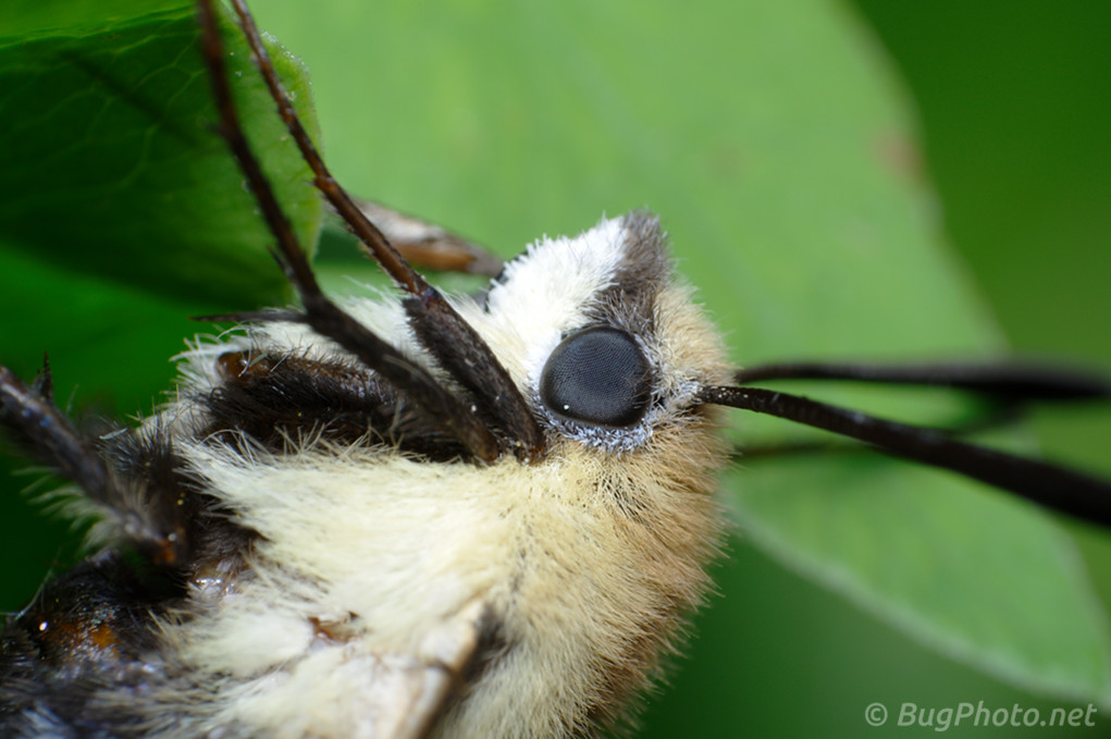 Snowberry Clearwing Moth Close-up