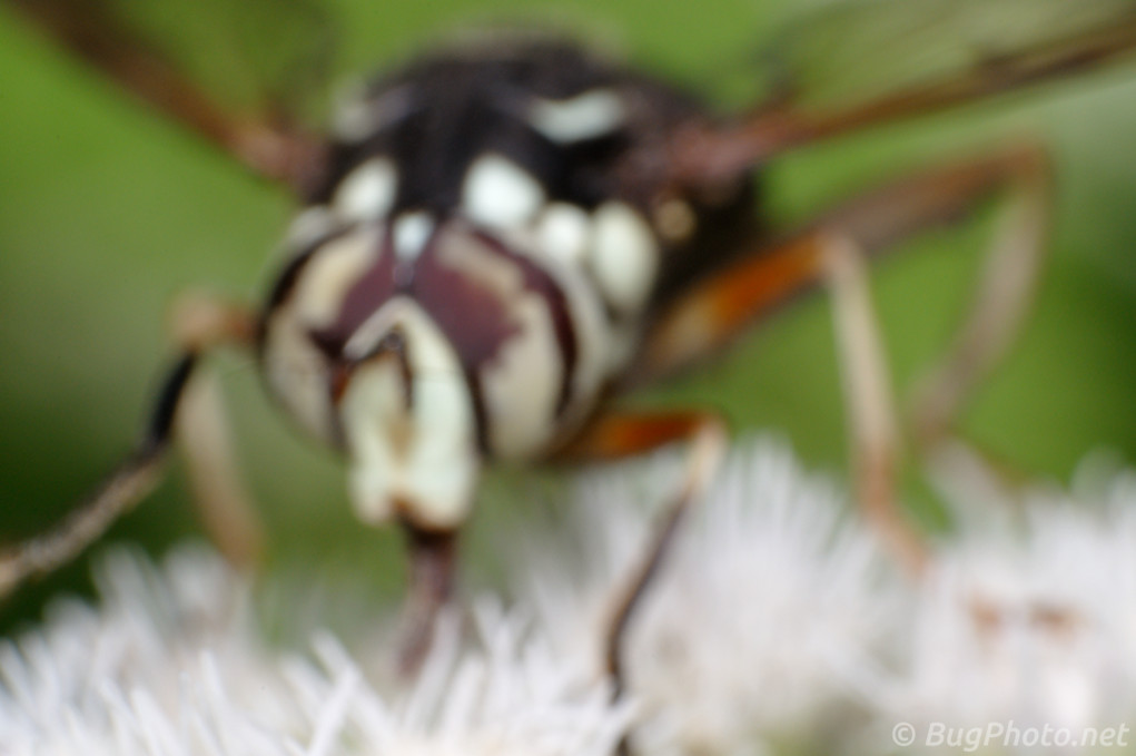 Bald-faced Hornet Syrphid Fly Mimic