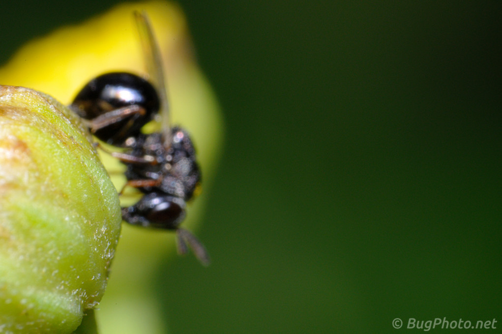 Chalcid Wasp Out of Focus