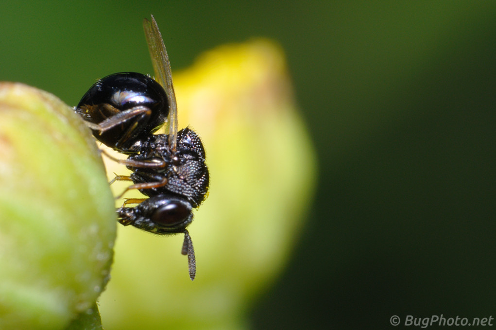 Chalcid Wasp Almost in Focus