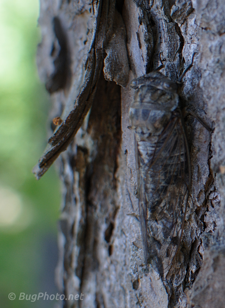 Cicada on Tree bark