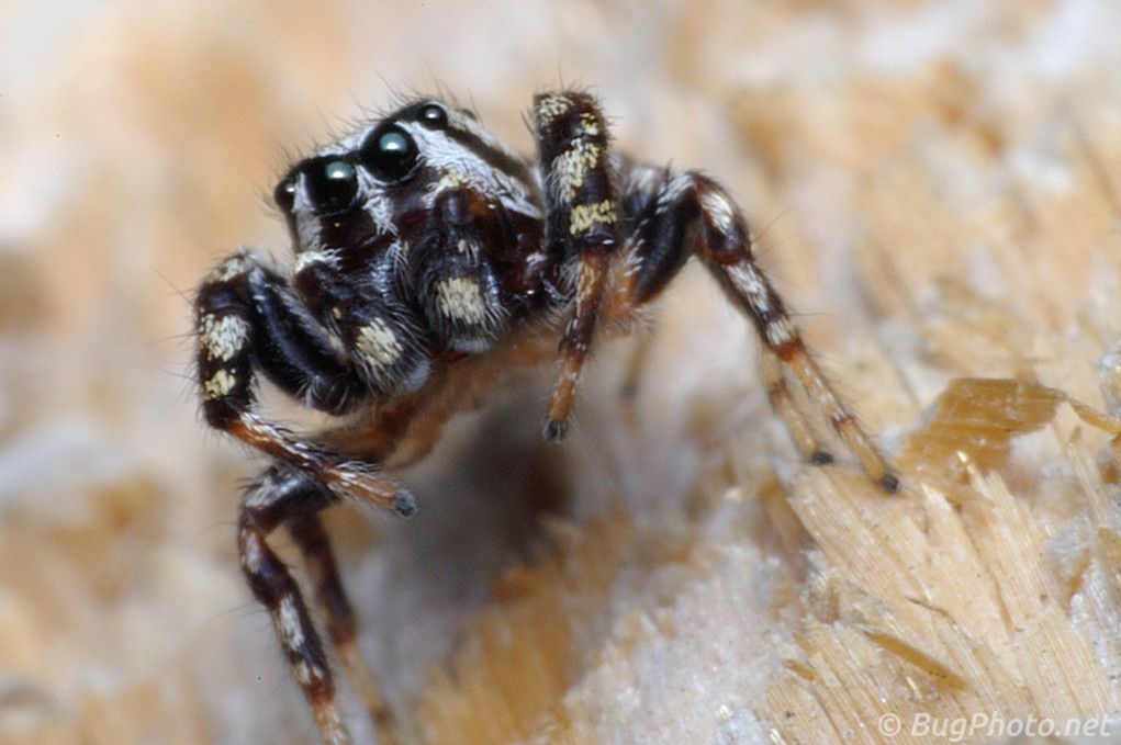 Pelegrina jumping spider