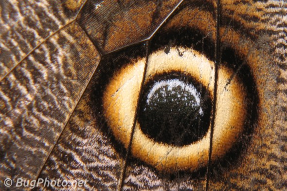 Owl Butterfly Eyespot close-up