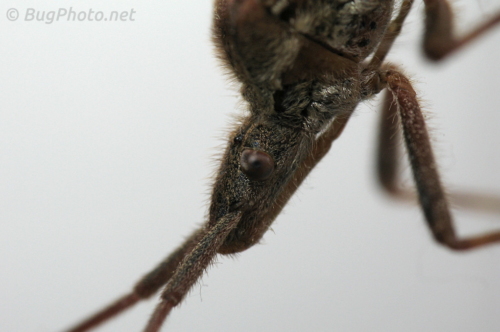 Western Conifer Seed Bug Portrait