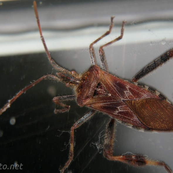 Western Conifer Seed Bug dorsal view