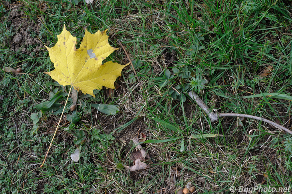 Yellow Maple Leaf on the ground
