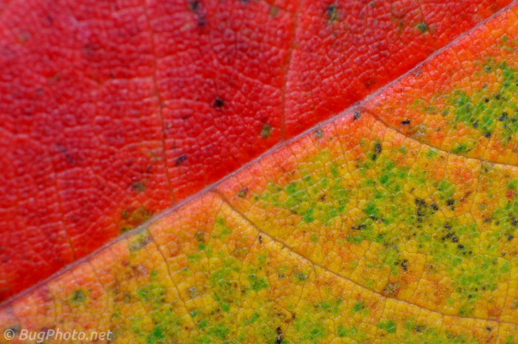 Red and yellow and green autumn leaf veins