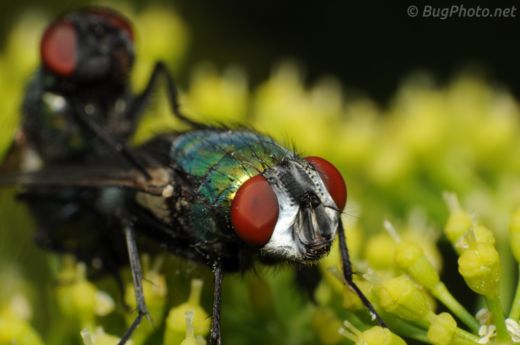 Blow Flies Mating