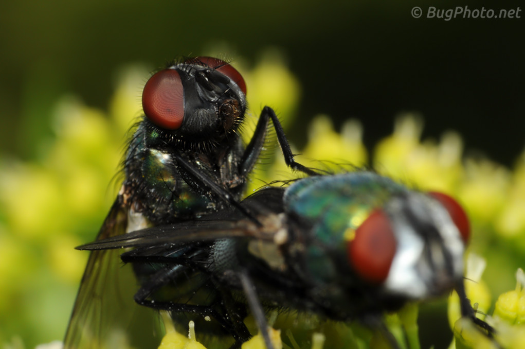 Blowfly Blow Fly Day | BugPhot...