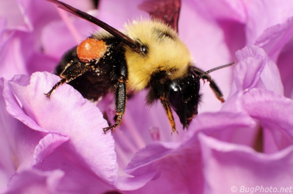 Bumblebee in Rhododendron
