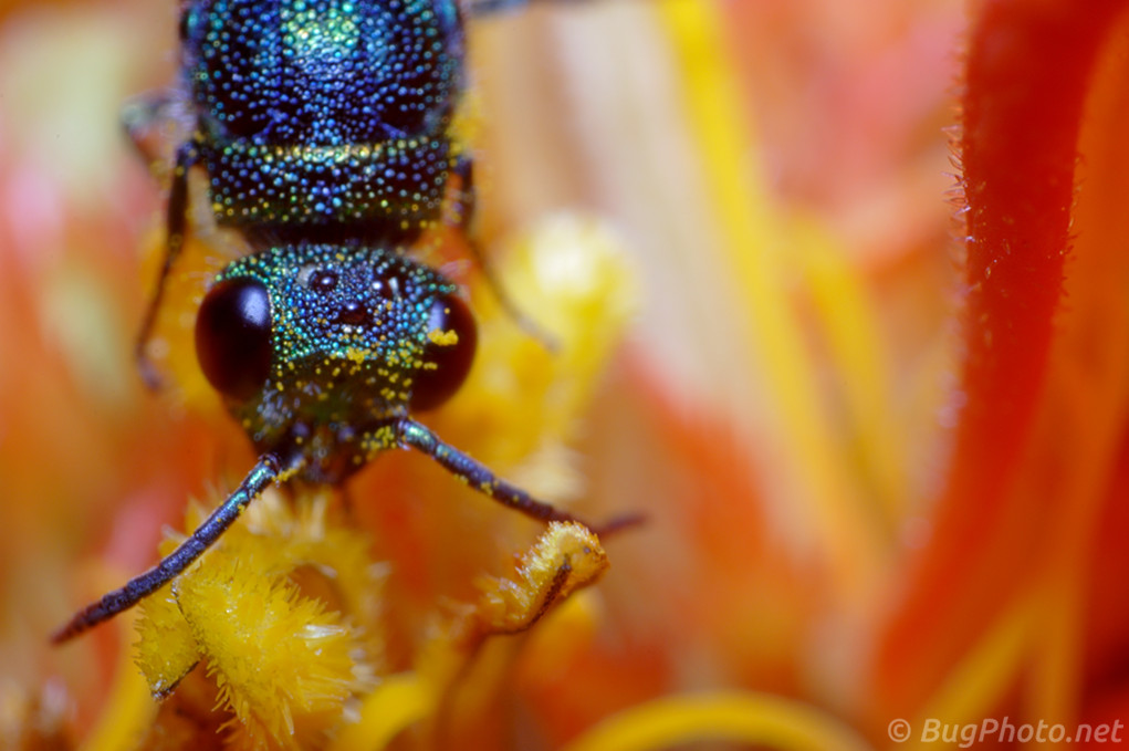 Cuckoo Wasp on Zinnia