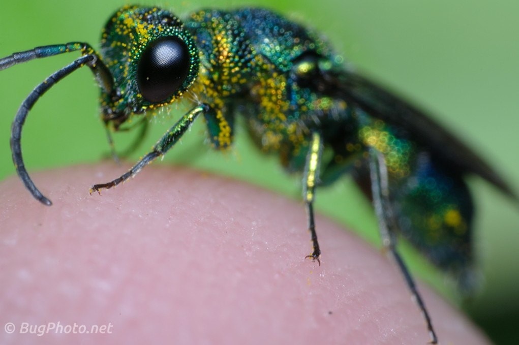Cuckoo Wasp on My Hand
