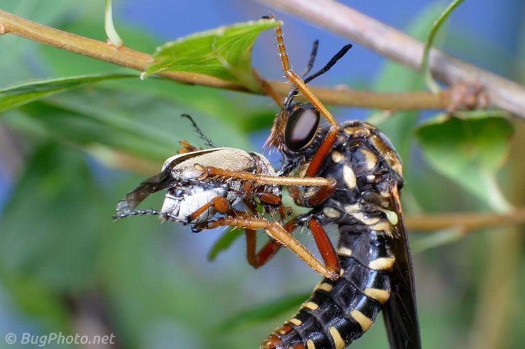 Ceraturgus Wasp Mimic Robber Fly
