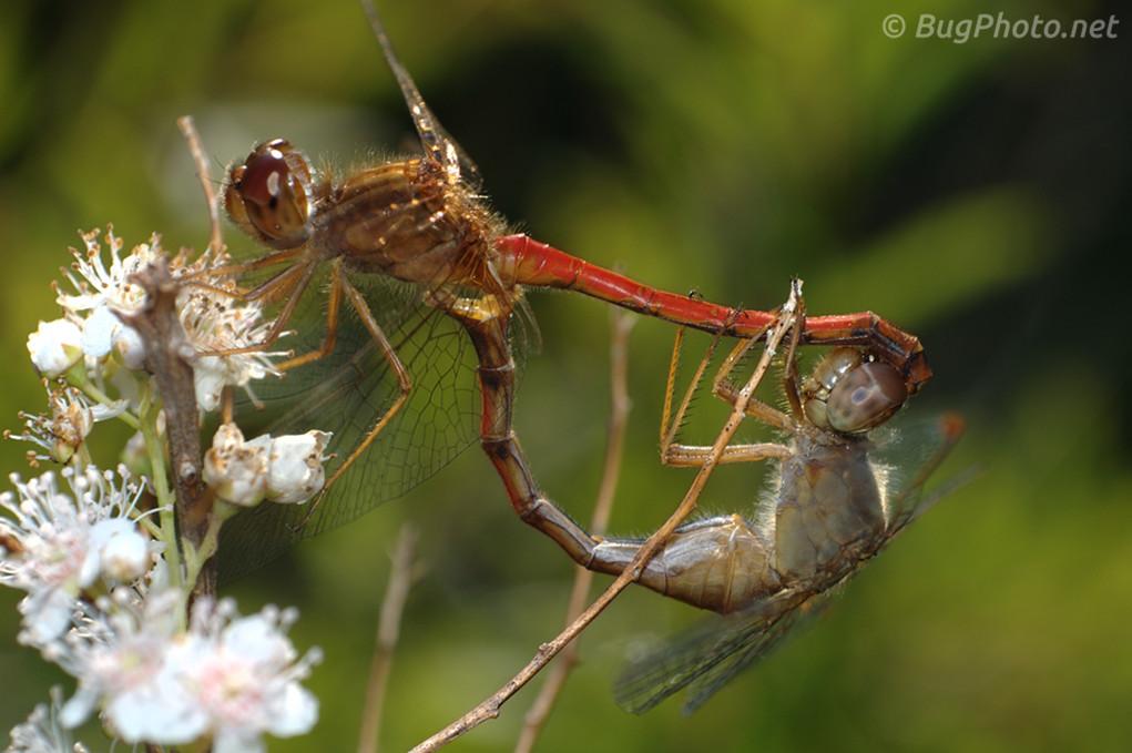 Mating Meadowhawk Dragonflies