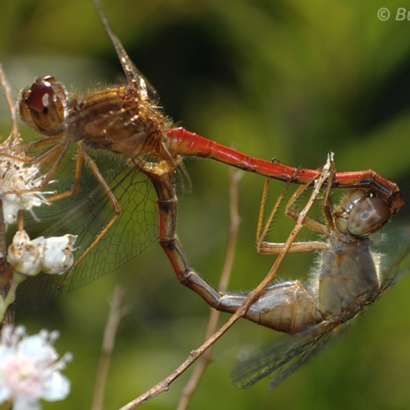 Mating Meadowhawk Dragonflies