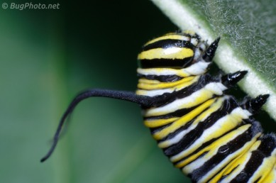 Monarch Caterpillar on Milkweed, close view of head and feeler appendages