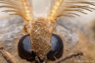Dead Polyphemus Moth
