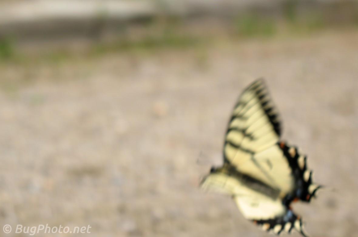 Tiger Swallowtail Butterfly in Flight