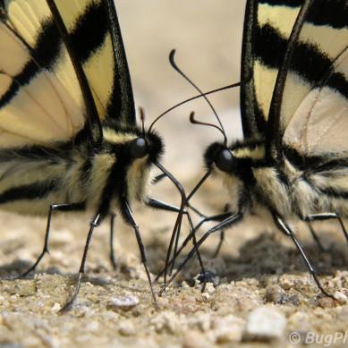 Tiger Swallowtail Butterflies Puddling