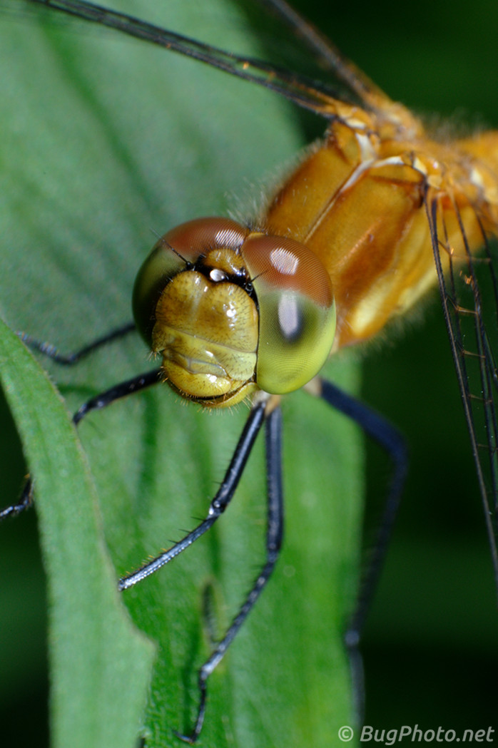 meadowhawk dragonfly