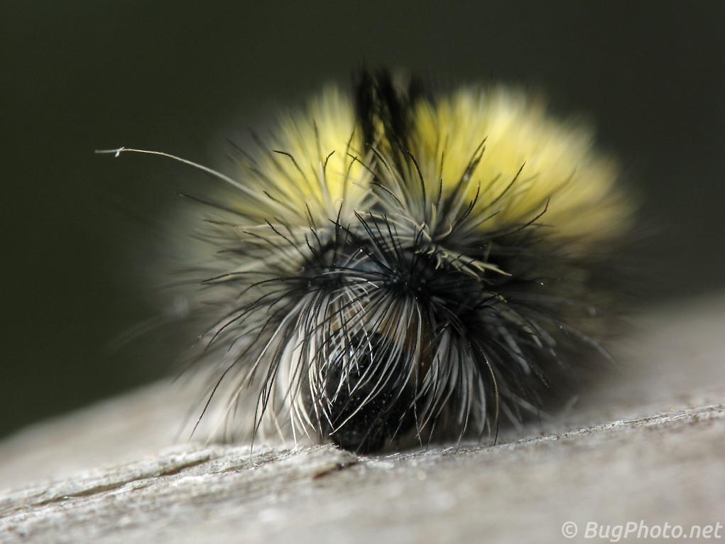 Milkweed Tussock Caterpillar — Setae