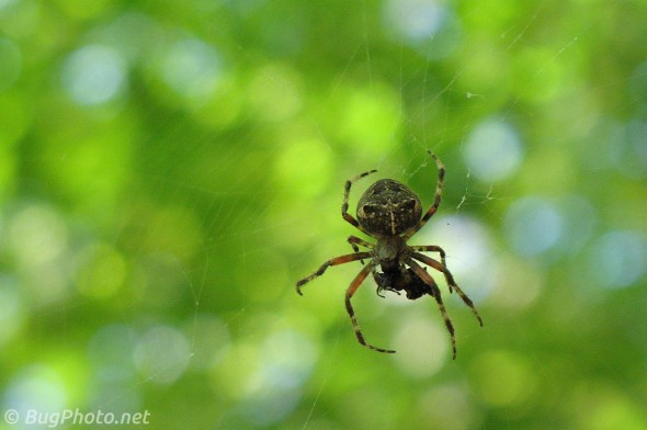 Orbweaver Spider with Prey