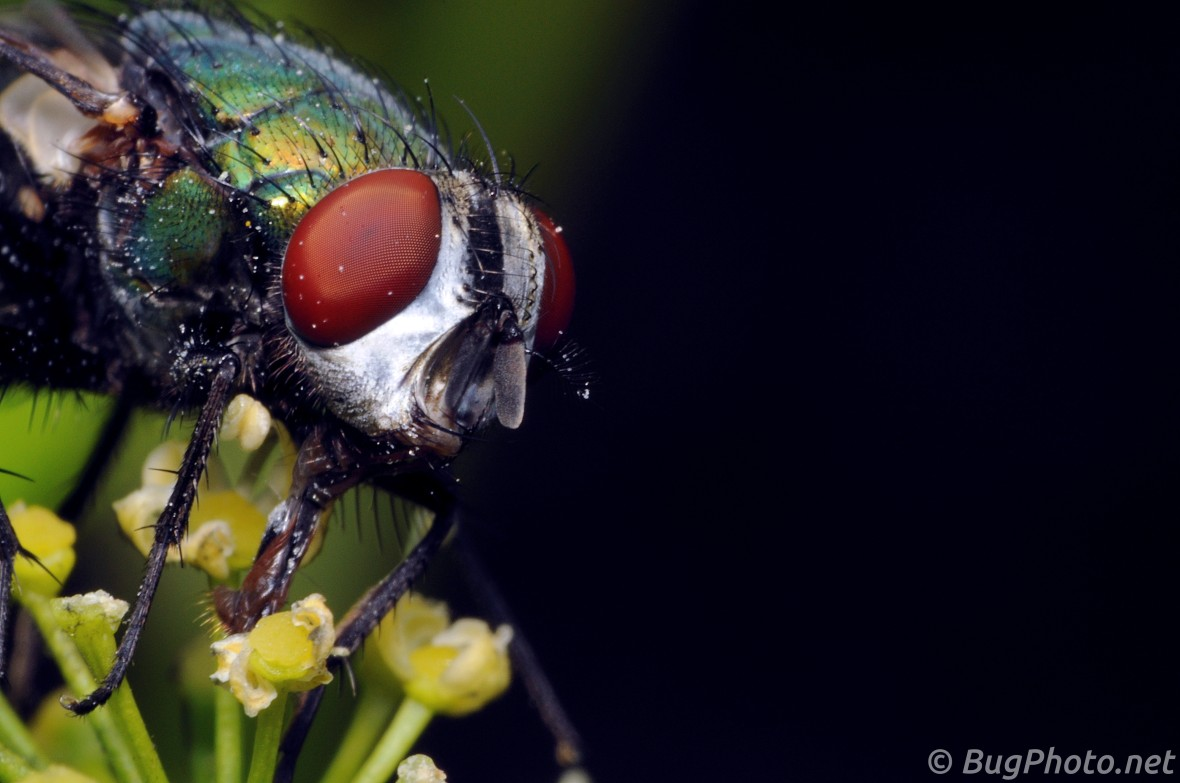Blow fly feeding on parsley flowers