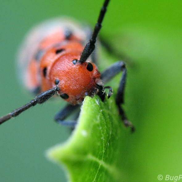 Red Milkweed Beetle feeding on Common Milkweed