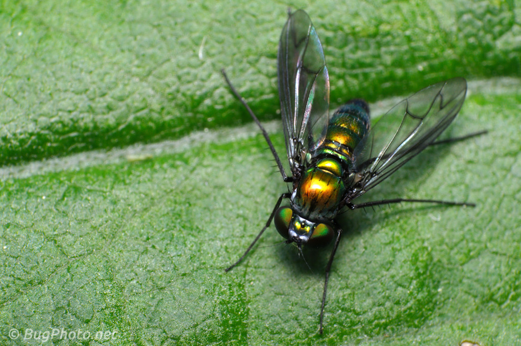 Longlegged fly dorsal view