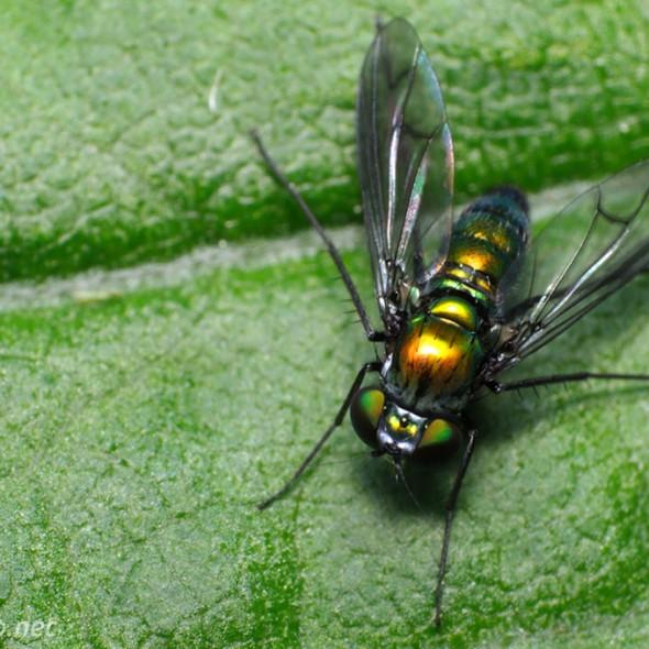 Longlegged fly dorsal view