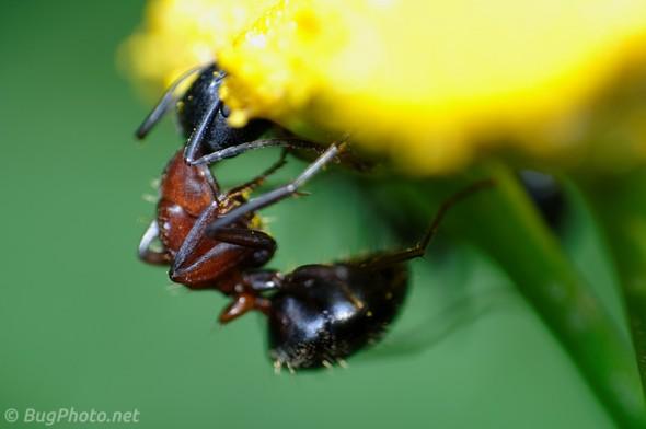 Ant feeding on Goldenrod