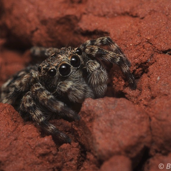 Tiny Jumping Spider in Nook of Brick