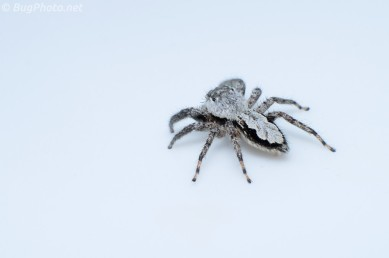 Jumping Spider on Bathroom Sink