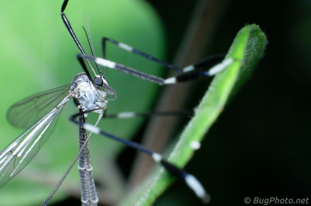 Phantom Crane Fly