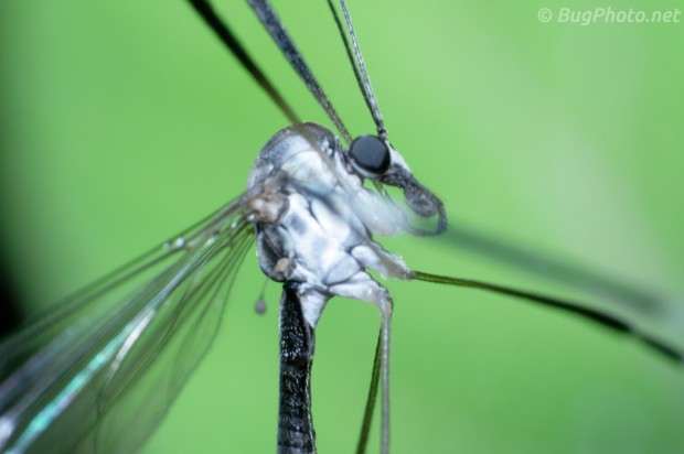 Phantom Crane Fly (high magnification, out of focus)