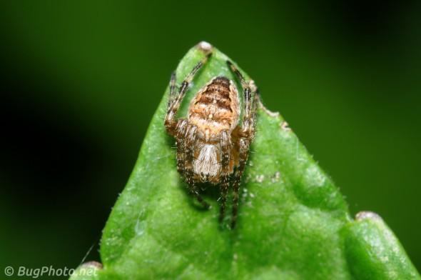 Small Orbweaver Spider on Tip of Leaf