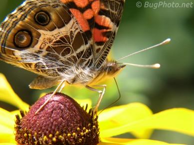 American Lady Butterfly Vanessa virginiensis
