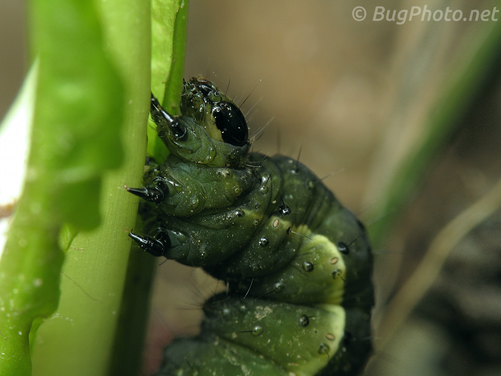 Common Looper caterpillar